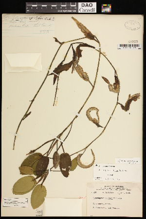 (Potamogeton pulcher - CCDB-26261-F11)  @11 [ ] CreativeCommons - Attribution Non-Commercial Share-Alike (2017) Maria Kuzmina Centre for Biodiversity Genomics