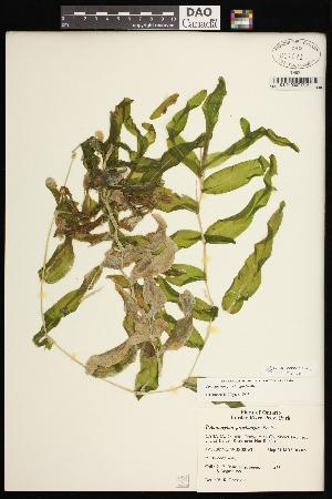 (Potamogeton praelongus - CCDB-26261-F12)  @11 [ ] CreativeCommons - Attribution Non-Commercial Share-Alike (2017) Maria Kuzmina Centre for Biodiversity Genomics