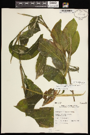 (Potamogeton amplifolius - CCDB-26261-G11)  @11 [ ] CreativeCommons - Attribution Non-Commercial Share-Alike (2017) Maria Kuzmina Centre for Biodiversity Genomics