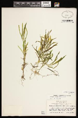 (Potamogeton obtusifolius - CCDB-26261-H08)  @11 [ ] CreativeCommons - Attribution Non-Commercial Share-Alike (2017) Maria Kuzmina Centre for Biodiversity Genomics