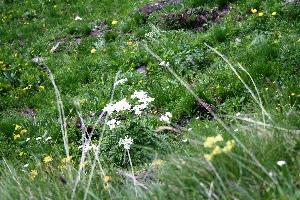 (Anemonastrum - ANNACM05-110713)  @11 [ ] c (2017) RAVA Regione Autonoma Valle d'Aosta - Aree protette - Museo regionale di Scienze naturali E. Noussan