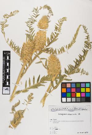 (Astragalus alopecurus - ASALCO08-230690)  @11 [ ] c (2017) RAVA Regione Autonoma Valle d'Aosta - Aree protette - Museo regionale di Scienze naturali E. Noussan