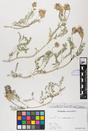 (Astragalus onobrychis - ASONAM04-190913)  @11 [ ] c (2017) RAVA Regione Autonoma Valle d'Aosta - Aree protette - Museo regionale di Scienze naturali E. Noussan