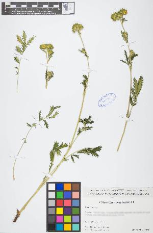 (Potentilla pensylvanica - POPECO25-290609)  @11 [ ] c (2017) RAVA Regione Autonoma Valle d'Aosta - Aree protette - Museo regionale di Scienze naturali E. Noussan