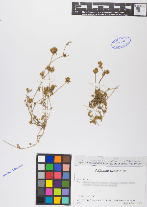 (Trifolium - TRSACO21-230753)  @11 [ ] c (2017) RAVA Regione Autonoma Valle d'Aosta - Aree protette - Museo regionale di Scienze naturali E. Noussan