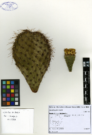 (Opuntia echios - SCE049)  @11 [ ] by-nc-nd (2015) Sofia Carvajal Endara Charles Darwin Foundation