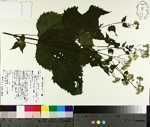 ( - TJD-310)  @11 [ ] by-nc (2014) MTMG McGill University Herbarium