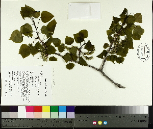 ( - TJD-008)  @11 [ ] by-nc (2014) MTMG McGill University Herbarium