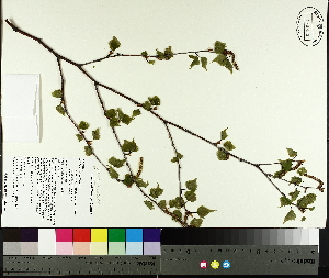 (Betula populifolia - TJD-009)  @11 [ ] by-nc (2014) MTMG McGill University Herbarium