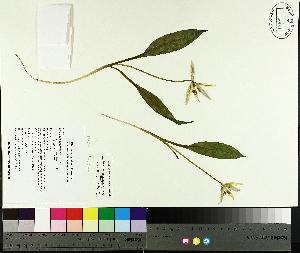 (Erythronium americanum ssp americanum - TJD-013)  @11 [ ] by-nc (2014) MTMG McGill University Herbarium