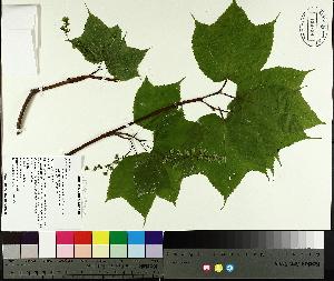 ( - TJD-041)  @11 [ ] by-nc (2014) MTMG McGill University Herbarium