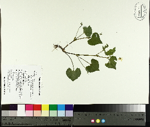 (Viola pubescens - TJD-060)  @11 [ ] by-nc (2014) MTMG McGill University Herbarium