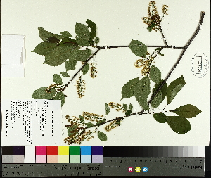 (Prunus virginiana L - TJD-074)  @11 [ ] by-nc (2014) MTMG McGill University Herbarium