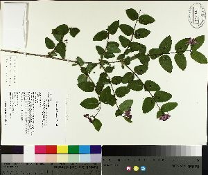 (Lonicera morrowii - TJD-087)  @11 [ ] CreativeCommons - Attribution Non-Commercial (2014) MTMG McGill University Herbarium