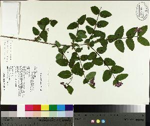 (Lonicera morrowii - TJD-087)  @11 [ ] by-nc (2014) MTMG McGill University Herbarium
