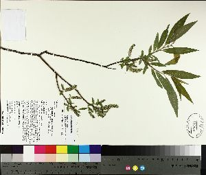 ( - TJD-094)  @11 [ ] by-nc (2014) MTMG McGill University Herbarium
