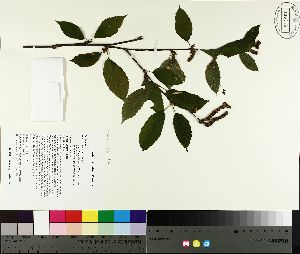 ( - TJD-106)  @11 [ ] by-nc (2014) MTMG McGill University Herbarium