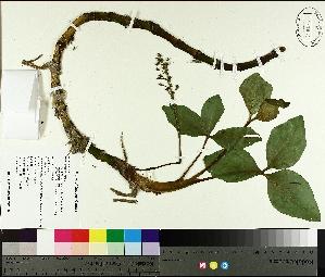 ( - TJD-109)  @11 [ ] by-nc (2014) MTMG McGill University Herbarium