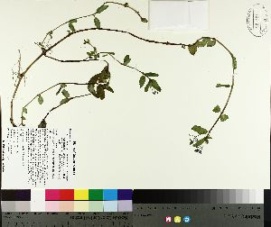 (Veronica americana - TJD-120)  @11 [ ] by-nc (2014) MTMG McGill University Herbarium