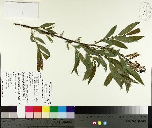 ( - TJD-135)  @11 [ ] by-nc (2014) MTMG McGill University Herbarium