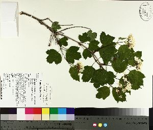 ( - TJD-137)  @11 [ ] by-nc (2014) MTMG McGill University Herbarium