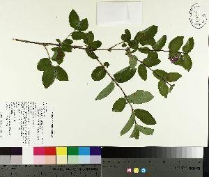 (Lonicera xbella - TJD-157)  @11 [ ] by-nc (2014) MTMG McGill University Herbarium