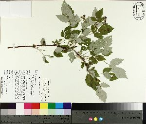 ( - TJD-164)  @11 [ ] by-nc (2014) MTMG McGill University Herbarium