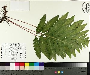 ( - TJD-489)  @11 [ ] by-nc (2014) MTMG McGill University Herbarium