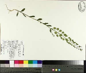 ( - TJD-174)  @11 [ ] by-nc (2014) MTMG McGill University Herbarium