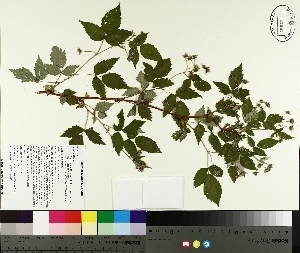 ( - TJD-181)  @11 [ ] by-nc (2014) MTMG McGill University Herbarium