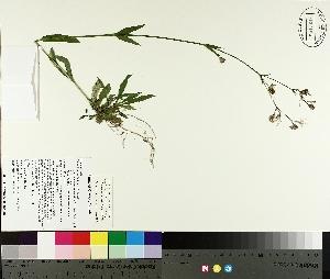 (Silene flos-cuculi - TJD-189)  @11 [ ] by-nc (2014) MTMG McGill University Herbarium