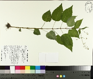 (Circaea - TJD-239)  @11 [ ] by-nc (2014) MTMG McGill University Herbarium