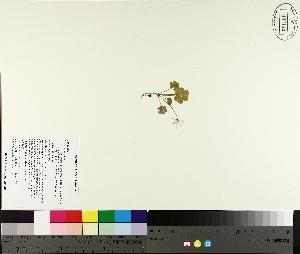(Oxalis montana - TJD-257)  @11 [ ] by-nc (2014) MTMG McGill University Herbarium