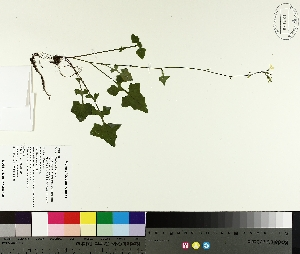 (Mycelis - TJD-269)  @11 [ ] by-nc (2014) MTMG McGill University Herbarium