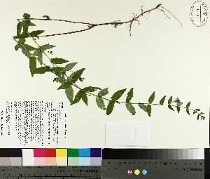 ( - TJD-288)  @11 [ ] by-nc (2014) MTMG McGill University Herbarium
