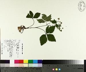 (Sanicula - TJD-314)  @11 [ ] by-nc (2014) MTMG McGill University Herbarium