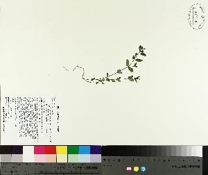 (Euphorbia vermiculata - TJD-321)  @11 [ ] by-nc (2014) MTMG McGill University Herbarium