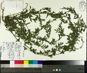 ( - TJD-358)  @11 [ ] by-nc (2014) MTMG McGill University Herbarium