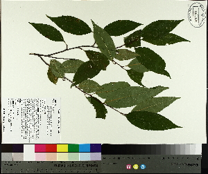 (Prunus serotina - TJD-360)  @11 [ ] by-nc (2014) MTMG McGill University Herbarium