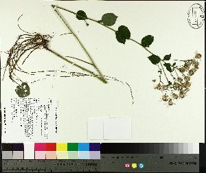 ( - TJD-367)  @11 [ ] by-nc (2014) MTMG McGill University Herbarium
