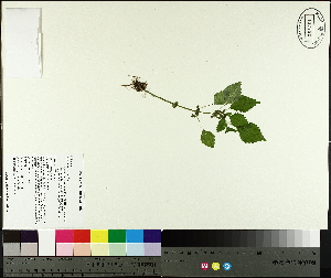 (Pilea - TJD-373)  @11 [ ] by-nc (2014) MTMG McGill University Herbarium