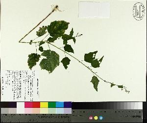 (Chenopodium simplex - TJD-382)  @11 [ ] by-nc (2014) MTMG McGill University Herbarium