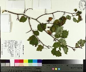 (Crataegus macrosperma - TJD-386)  @11 [ ] by-nc (2014) MTMG McGill University Herbarium