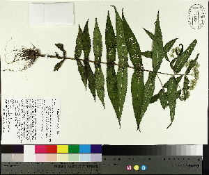 ( - TJD-399)  @11 [ ] by-nc (2014) MTMG McGill University Herbarium
