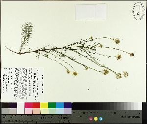 (Tripleurospermum - TJD-405)  @11 [ ] by-nc (2014) MTMG McGill University Herbarium
