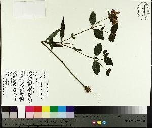 (Chelone - TJD-414)  @11 [ ] by-nc (2014) MTMG McGill University Herbarium