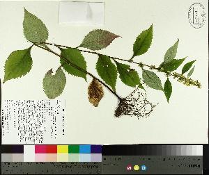 ( - TJD-418)  @11 [ ] CreativeCommons - Attribution Non-Commercial (2014) MTMG McGill University Herbarium