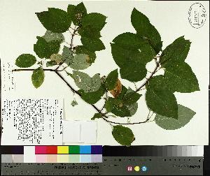 ( - TJD-419)  @11 [ ] by-nc (2014) MTMG McGill University Herbarium