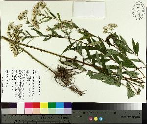 (Doellingeria - TJD-428)  @11 [ ] CreativeCommons - Attribution Non-Commercial (2014) MTMG McGill University Herbarium