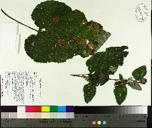 ( - TJD-431)  @11 [ ] by-nc (2014) MTMG McGill University Herbarium